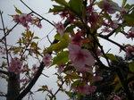 河津桜3.14.jpg